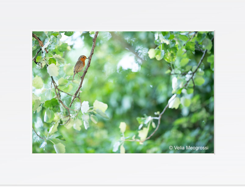 Spring time! - II - (Erithacus rubecula)