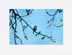 Long tailed - III (Spring is in the air)