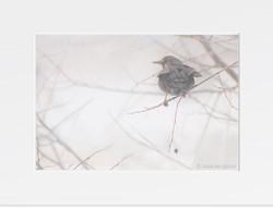 Winter days - (Turdus merula)
