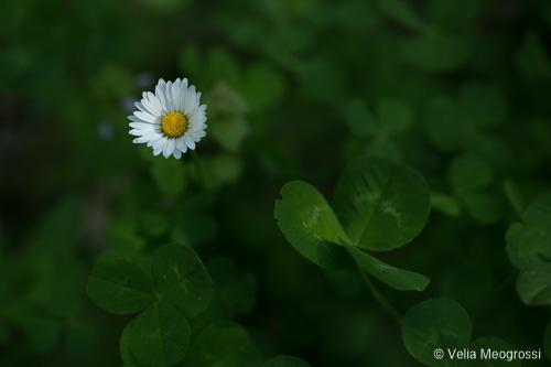 Daisy and clover