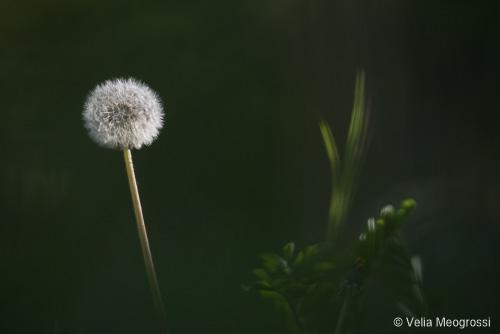 Dandelion - IV