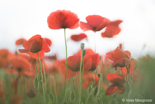 Red fields - II