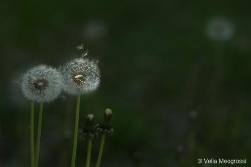 Dandelion - II