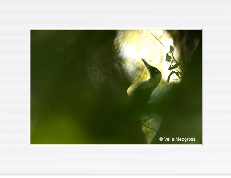 Picus viridis - I