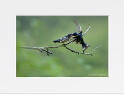 Swallow - VI
