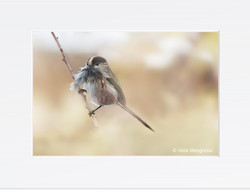 Long tailed - It's time for the nest!