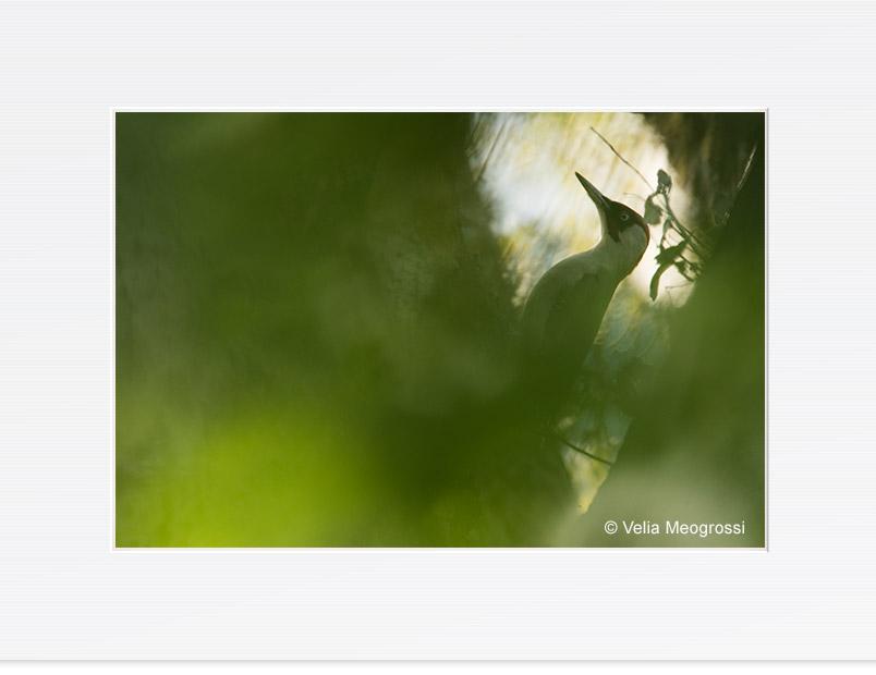 Picus viridis - II
