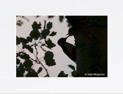 Dendrocopus major - V