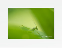Green worlds (Phaneroptera nana)