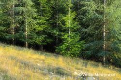Among trees - XLI
