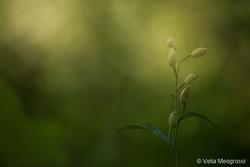 Orchid (Cephalanthera damasonium)
