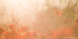 Red field - IV