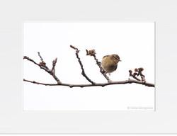 Phylloscopus collybita (On the branches)