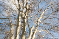 Winter branches - IX (last few days of W