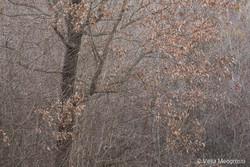 Downy oak - II