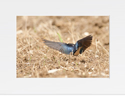 Swallow - V