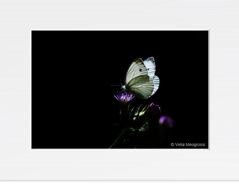 Butterfly - V