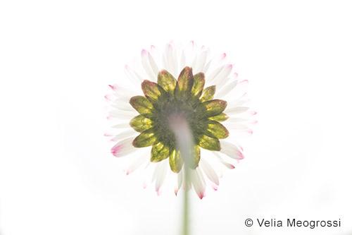 Daisy - III