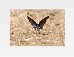 Swallow - II