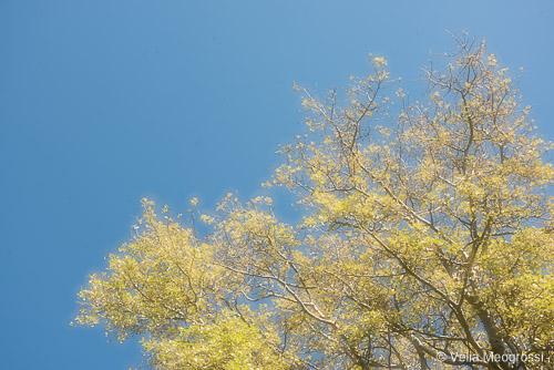 Spring poplar - II