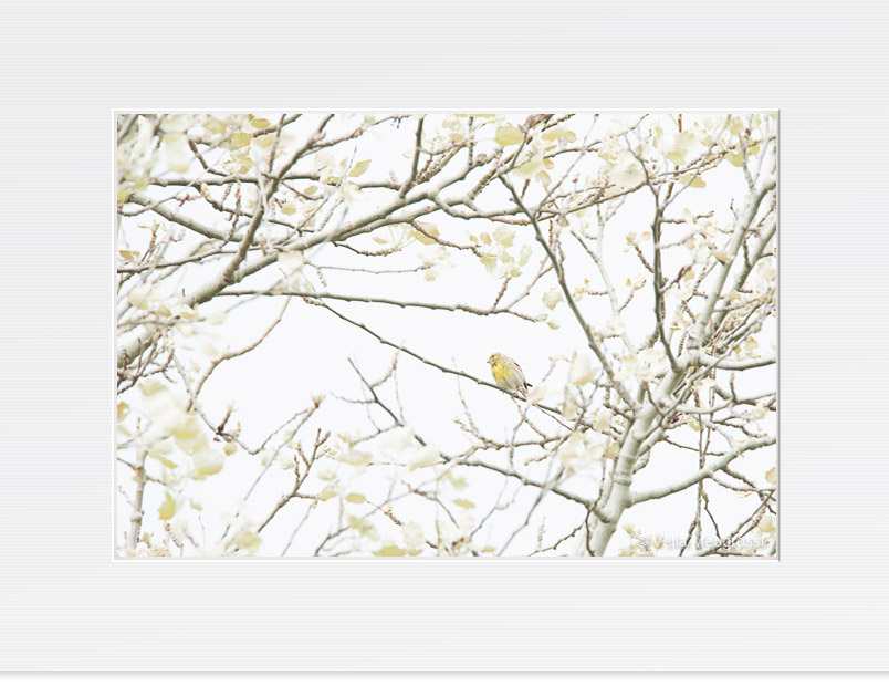 Emberiza citrinella (Among the branches)