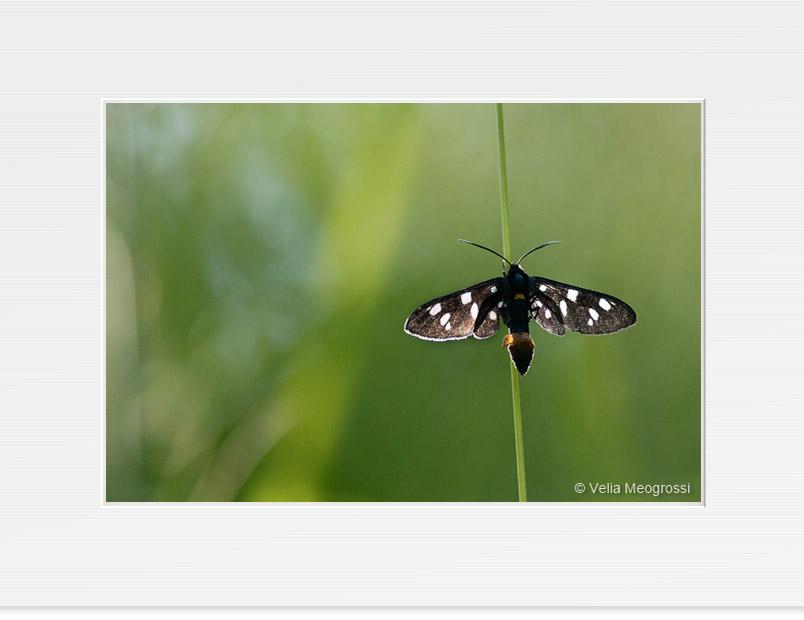 Butterfly - VI