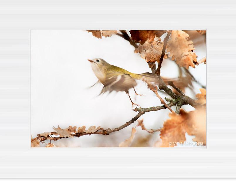 Phylloscopus collybita (Birds)