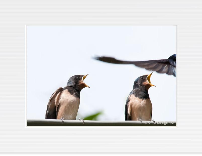Swallow - VII