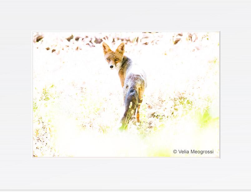 Fox_II