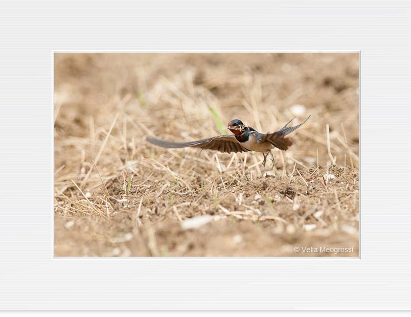 Swallow - III
