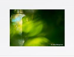 Picus viridis - III