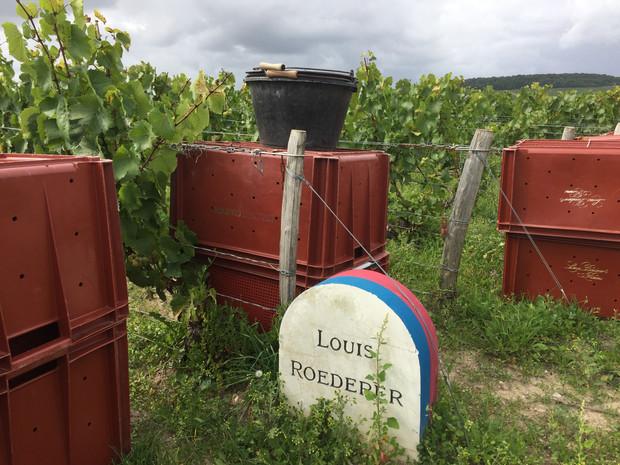 Champagne Louis Roederer: Harvest 2017!