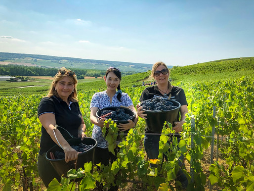 Champagne Harvest Report (1)