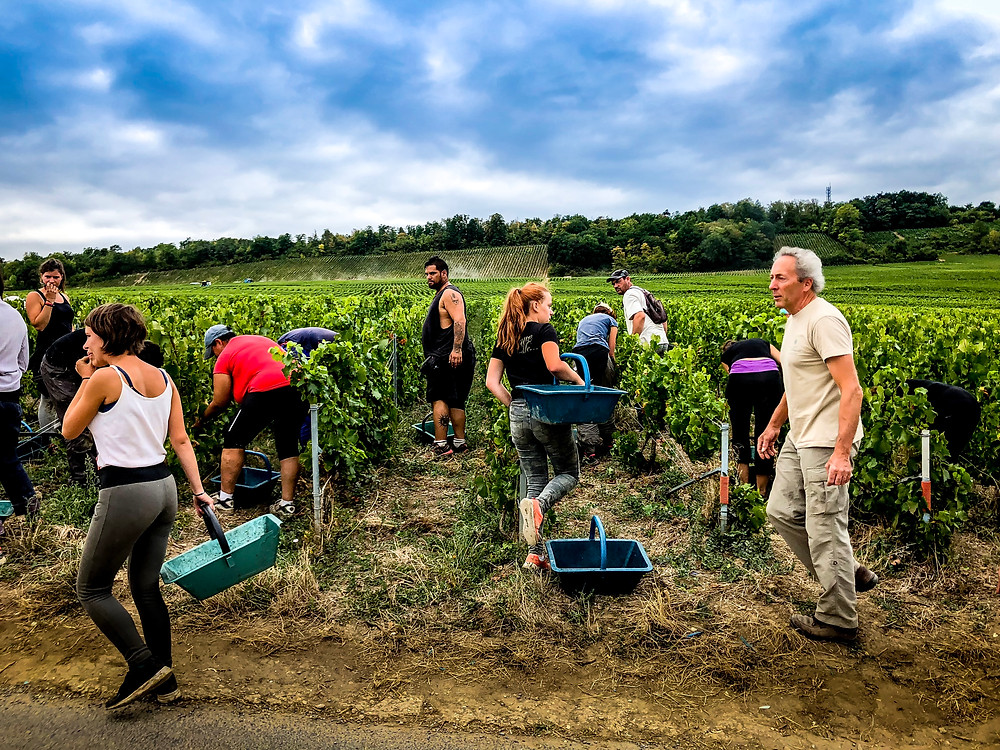 Harvest team for Champagne Pascal Doquet in Vertus