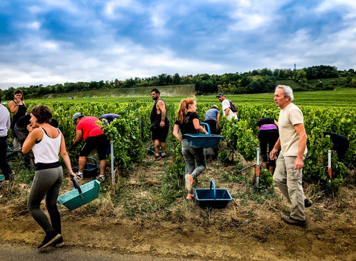 Harvest 2018: Great wines only come from quality grapes
