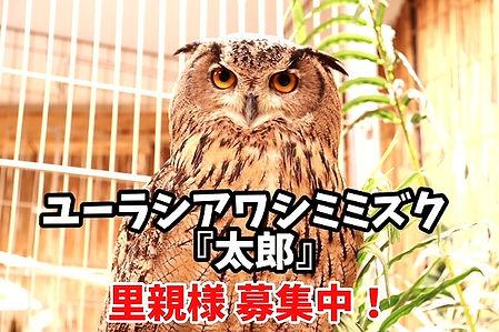ユーラシアワシミミズク里親募集中。千葉ねこのすNEKONOS猫の巣ネコノス。動物保護施設2_edited.jpg