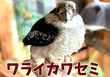 ワライカワセミ_里親募集中、ねこのす猫の巣NEKONOSネコノス.jpg