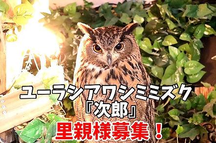 ユーラシアワシミミズク里親募集中。千葉ねこのすNEKONOS猫の巣ネコノス。動物保護施設_edited.jpg