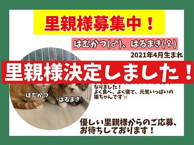 保護猫はむかつ、はるまき.JPG