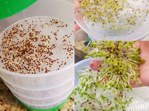 Broccoli Sprouts! How to Sprout at Home