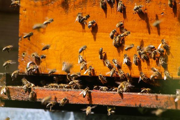 bees-2254088_1920.jpg