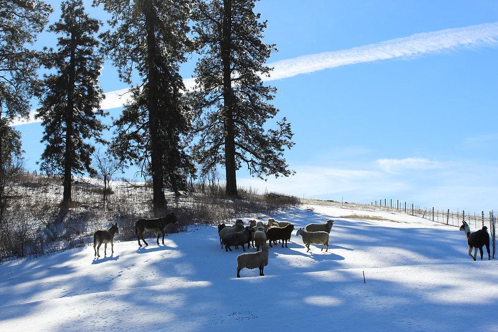 Burros, rams, llama top pasture.JPG