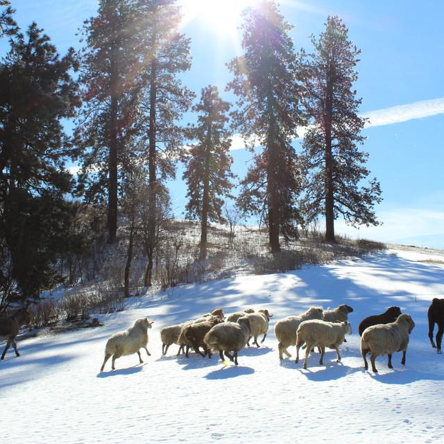 Running rams in top pasture.JPG