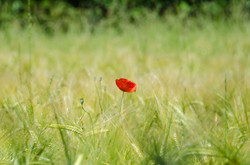 Poppy_flower_field-5new