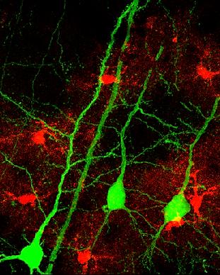 Astro Synapse 2.tif