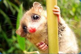 Chilean marsupial
