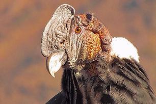 Andean Condor Santiago.jpg