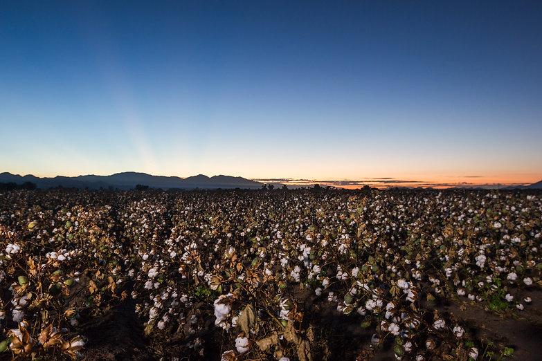 Cotton Dawn.jpg
