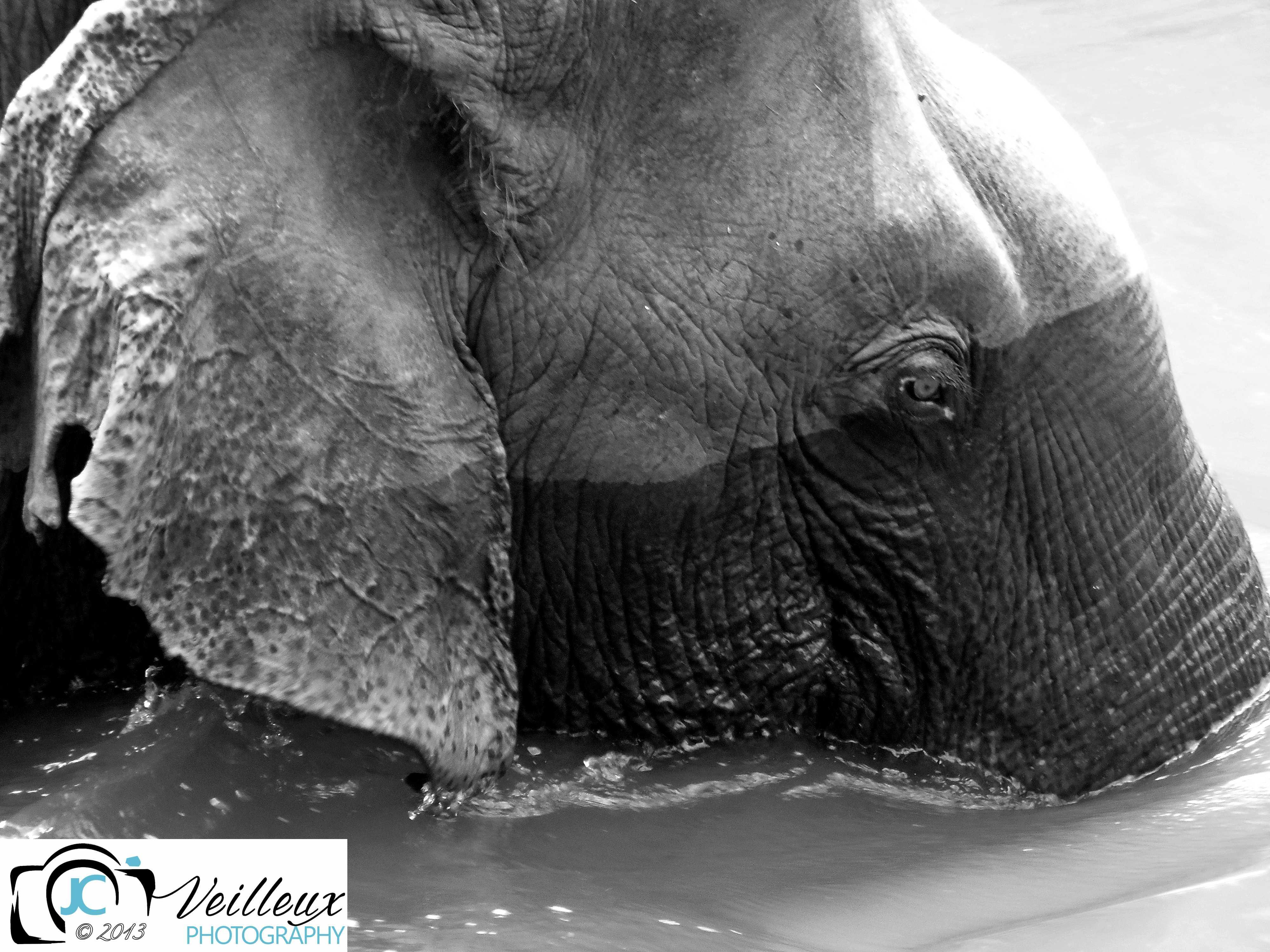 Asian Bull Elephant