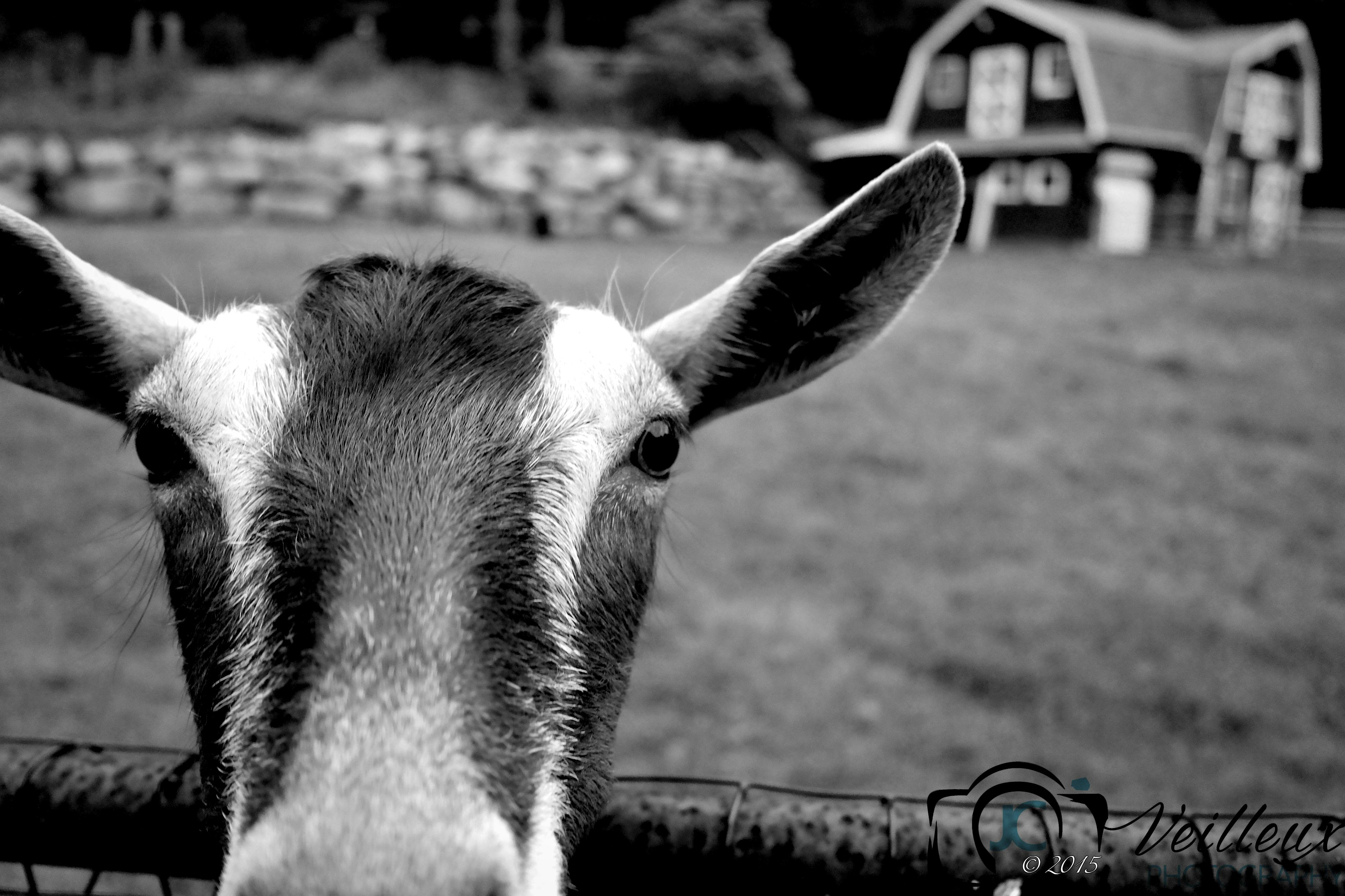 Sarah's Goat No. 2